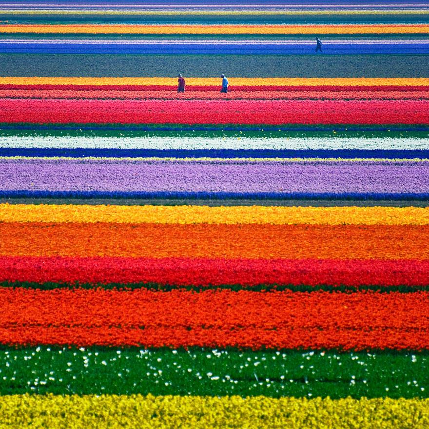 Colorful Tulip Fields, The Netherlands